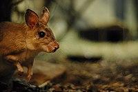 Malagasy Giant Rat (Hypogeomys antimena).jpg