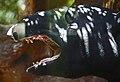 Malaysian Tapir.jpg