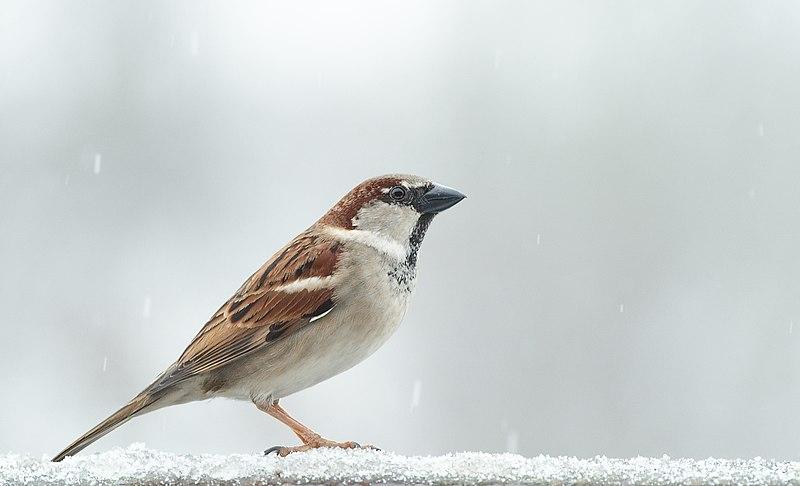 File:Male House Sparrow 2.jpg
