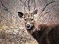 Male Sambar Deer, The Horns Of Winter.jpg