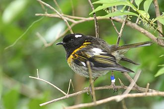 Male stitchbird or hihi (Notiomystis cincta) showing convergence with honeyeaters Male stitchbird.JPG