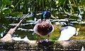Mallard Duck (162039421).jpeg