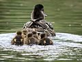 Mallard female and chicks.jpg