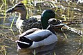 Mallards, Quoile, March 2011 (07).JPG
