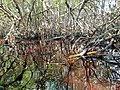 Malpighiales - Rhizophora mangle - 18.jpg