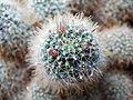 Mammillaria (14384447940).jpg