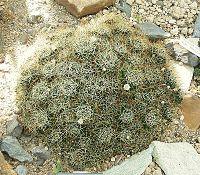 M. decipiens ssp. camptotricha