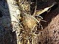 Mammillaria guelzowiana (5729965224).jpg
