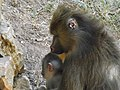 Mandrill mother and baby.jpg