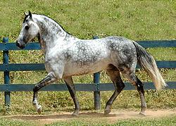 Cheval gris pommelé (Equus caballus)