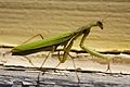 Mantis (1).jpg