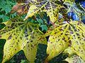 Maple leaves in autumn 2.JPG