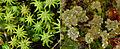 Marchantia polymorpha gametophytes.jpg