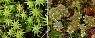 Plant reproductive morphology - Dioicous gametophytes of the liverwort Marchantia polymorpha. In this species, gametes are produced on different plants on umbrella-shaped gametophores with different morphologies. The radiating arms of female gameteophores (left) protect archegonia that produce eggs. Male gametophores (right) are topped with antheridia that produce sperm.