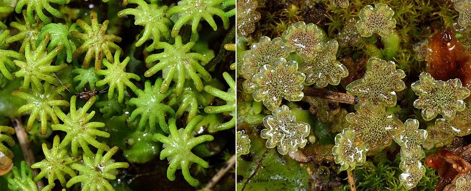 Marchantia polymorpha gametophytes