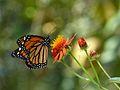 Mariposa Monarca - Edo Miranda.JPG