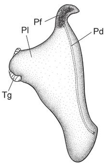 Dorsal corporeal edge penis