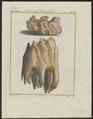 Mastodon spec. - kiezen - 1700-1880 - Print - Iconographia Zoologica - Special Collections University of Amsterdam - UBA01 IZ22000171.tif