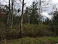 Mattity Swamp as seen from Mattity Road in North Smithfield RI Rhode Island USA near Second Battle of Nipsachuck Battlefield.jpg