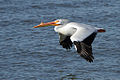 Mature white Pelican in flight.jpg