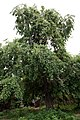 Maulbeerbaum Morus in Bulgarien 06-2012.jpg