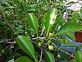 Maytenus canariensis.jpg