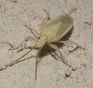 <i>Mecidea</i> Genus of true bugs