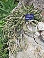 Medusa's Head (Euphorbia caput-medusae) (35602772122).jpg