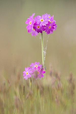 Primula farinosa - Image: Mehlprimel Primula farinosa