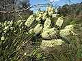 Melaleuca squarrosa.jpg