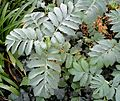 Melianthus major, loof, Louwsburg.jpg