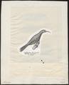 Meliphaga chrysops - 1809-1845 - Print - Iconographia Zoologica - Special Collections University of Amsterdam - UBA01 IZ19200011.tif