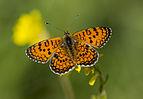 Melitaea collina - Hataylı İparhan 01.jpg