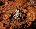 Menemerus bivittatus female.jpg
