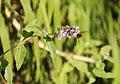 Mentha longifolia im Mambachtal mit Schwebfliege.jpg