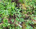Menziesia ferruginea (Fool's Huckleberry) - Flickr - brewbooks.jpg