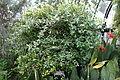Metrosideros collina var. villosa (Metrosideros villosa) - Longwood Gardens - DSC01218.JPG