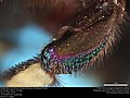 Middle tibia of orchid bee (Apidae, Eufriesea schmidtiana (Friese)) (37162867732).jpg