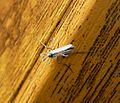 Midge. Chironomidae. ( C. plumosus^) - Flickr - gailhampshire (1).jpg