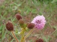 Mimosa rufipila (11181223135).jpg