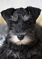 Miniature Schnauzer puppy blackandsilver.jpg