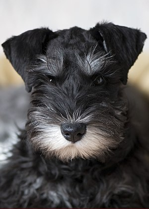 A black-and-silver Miniature Schnauzer puppy n...