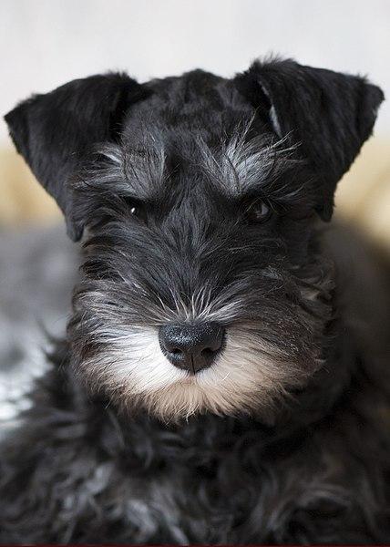 Miniature Schnauzer Puppy Dry Dog Food   Bundaberg