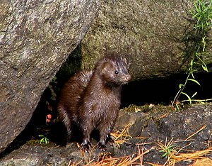 Mink - Lower Saranac Lake.jpg