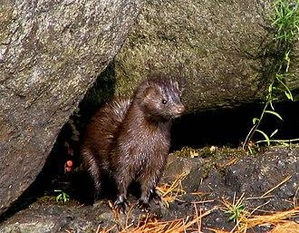 Mink - American mink (Neovison vison)
