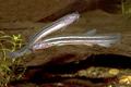 Misgurnus fossilis Denmark.png