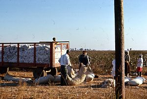 Harvesting cotton in the Mississippi Delta nea...