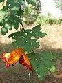 Momordica charantia - D7-10-3690.JPG