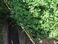 Momordica charantia bitter melon bitter gourd 2010-07-14 185 01.jpg