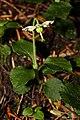 Moneses uniflora 1437.JPG